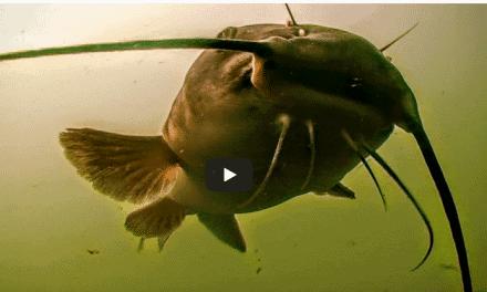 Spring Catfish Spinner Rigging in High Water