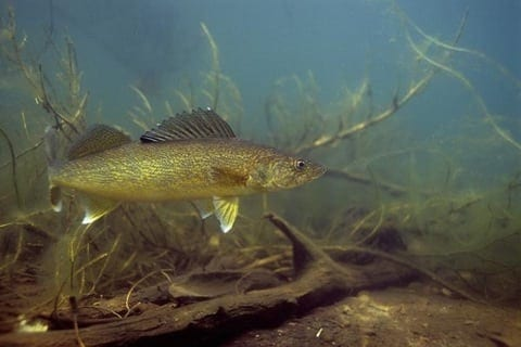 River Walleyes in High-Water Conditions