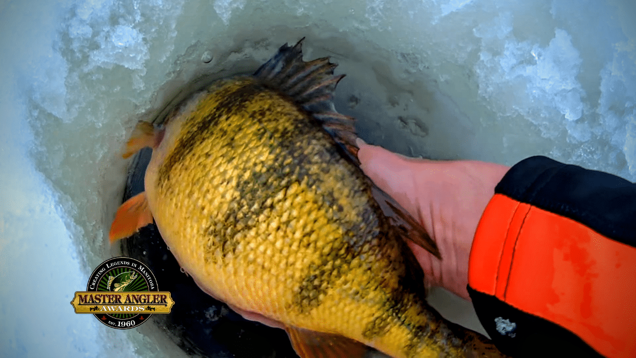 Catching Jumbo Yellow Perch in Manitoba