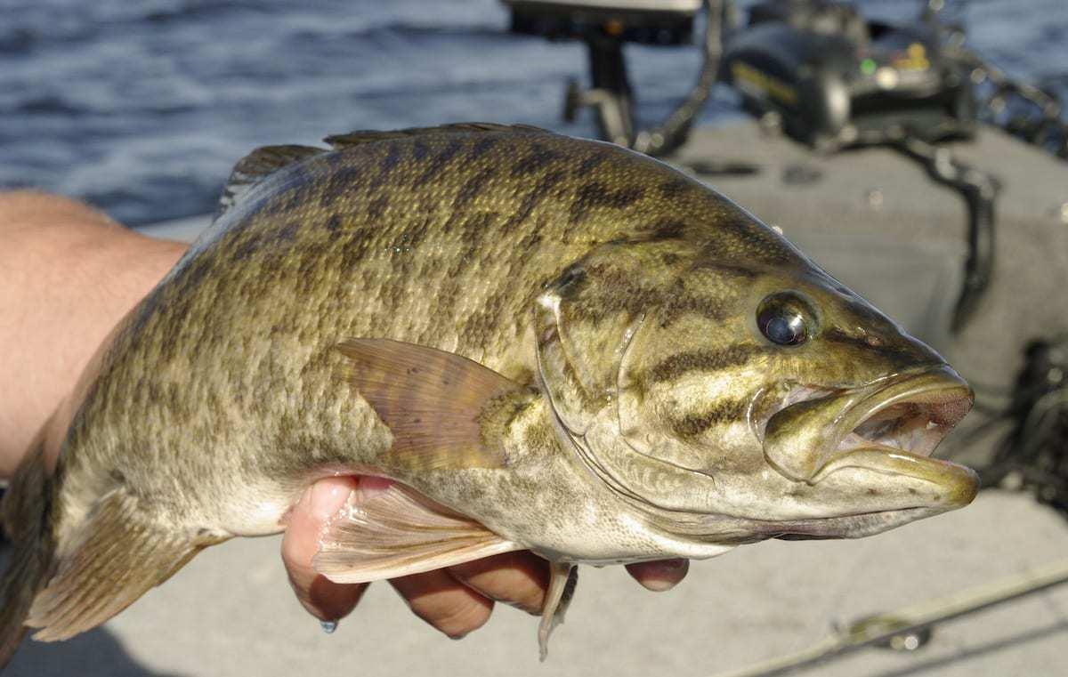Manitoba Species Highlight: Pounding Shoreline for Endless Smallmouth Bass