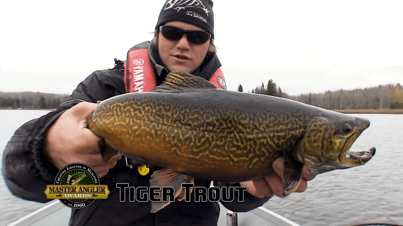 Fly Fishing for Massive Tiger Trout in Manitoba