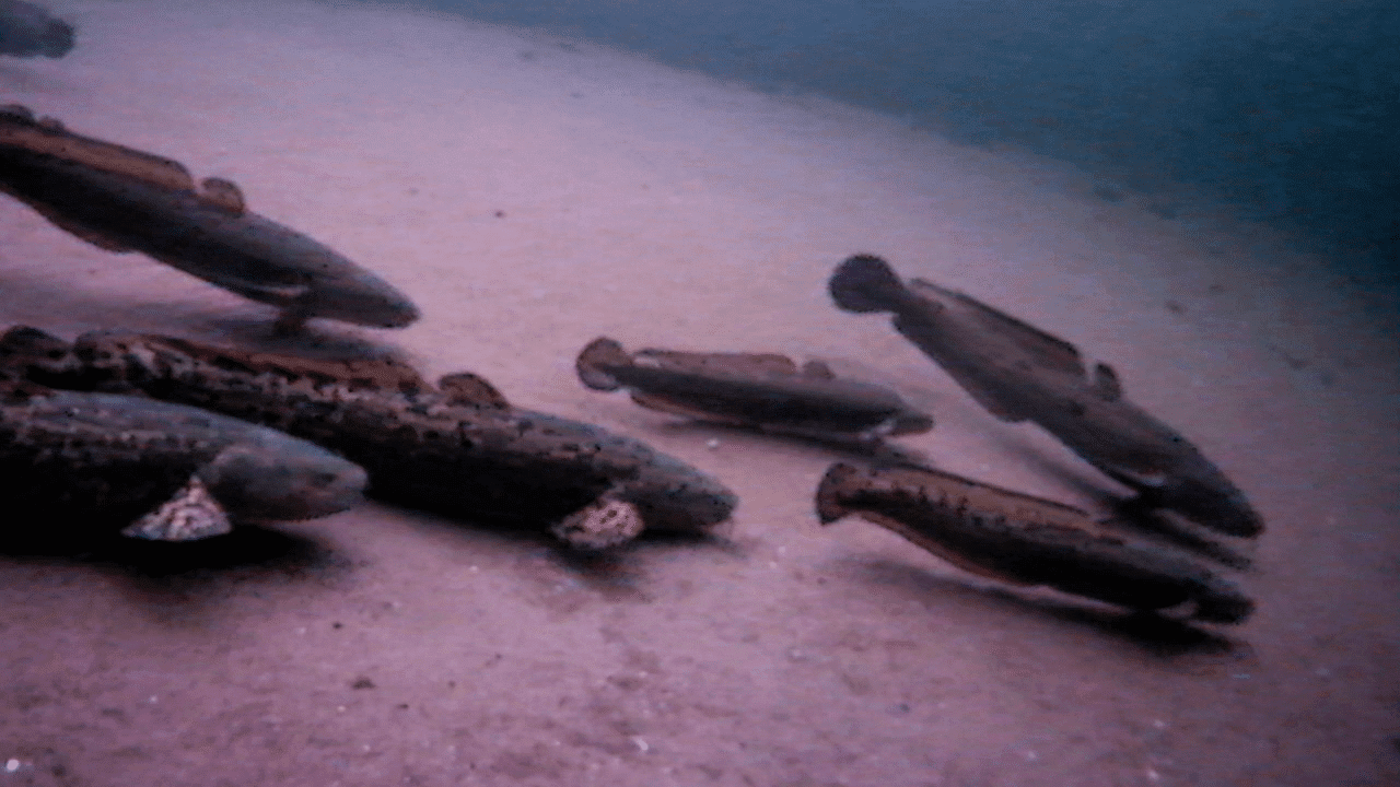 INSANE Underwater Burbot Spawning Action — HD Footage