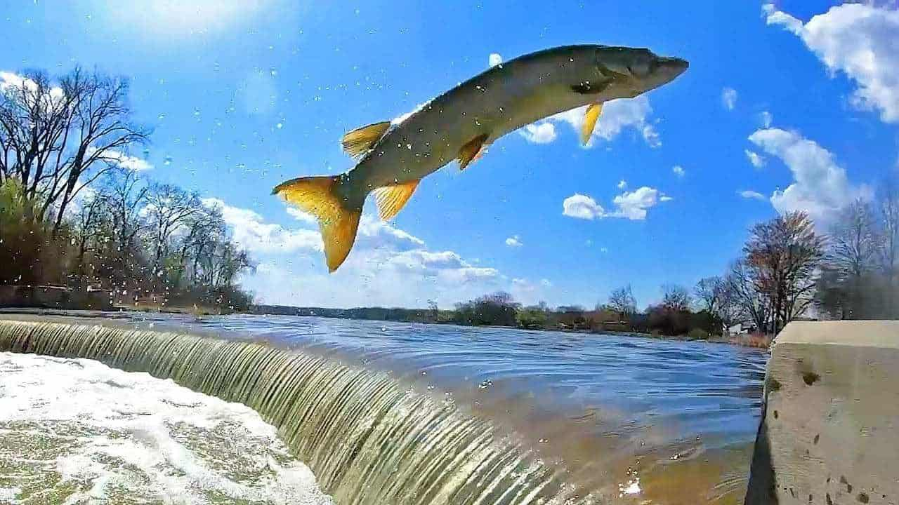 CRAZY DAM JUMPING MUSKIES — HD Slow-Mo Footage